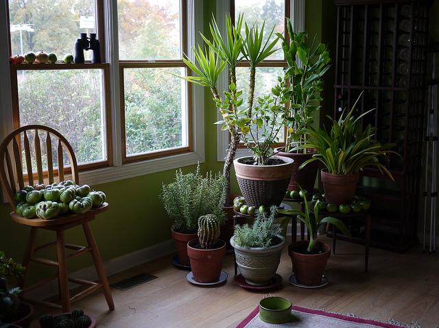 garden mum - Garden Mum Indoor